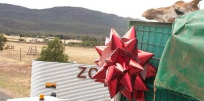 Big Giraffe, Big Red Bow! | Monarto Zoo South Australia | Bowzz